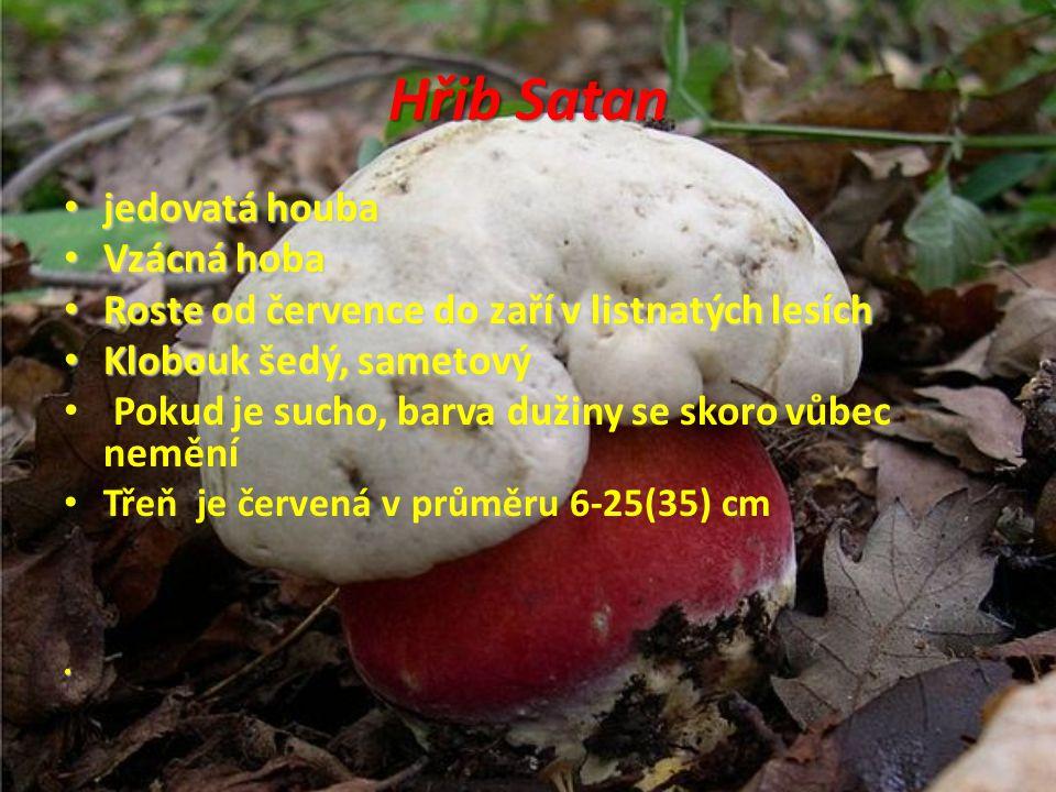 Hřib Satan jedovatá houba Vzácná hoba