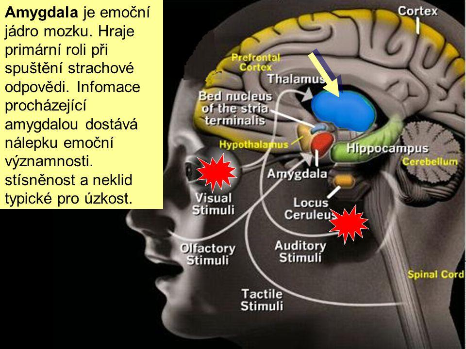 Amygdala je emoční jádro mozku