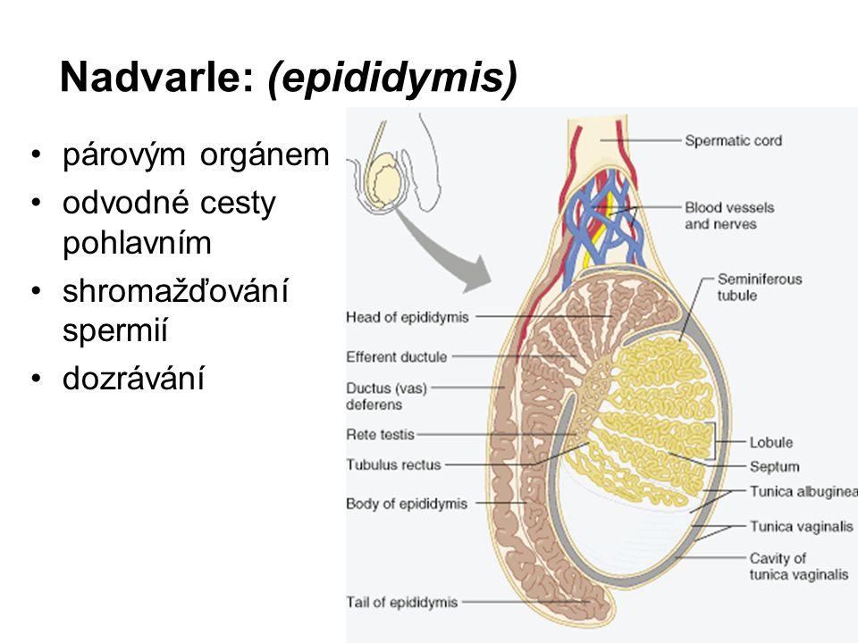 Nadvarle: (epididymis)