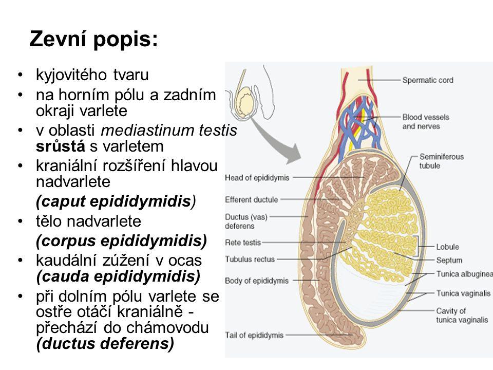 Zevní popis: kyjovitého tvaru na horním pólu a zadním okraji varlete