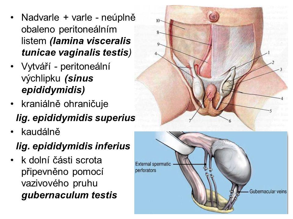 Nadvarle + varle - neúplně obaleno peritoneálním listem (lamina visceralis tunicae vaginalis testis)