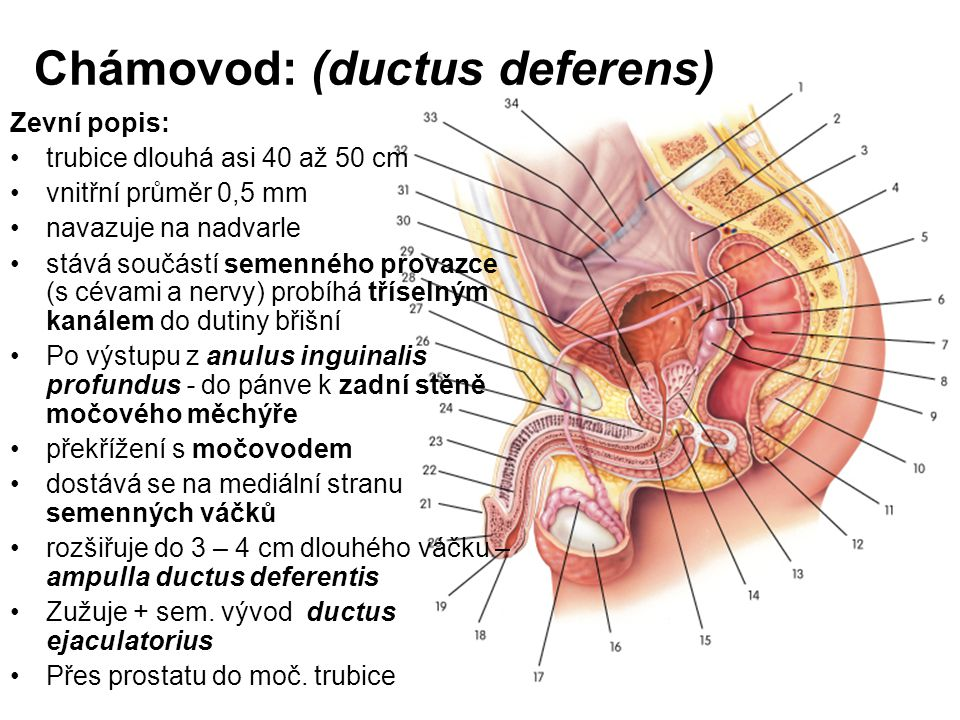 Chámovod: (ductus deferens)