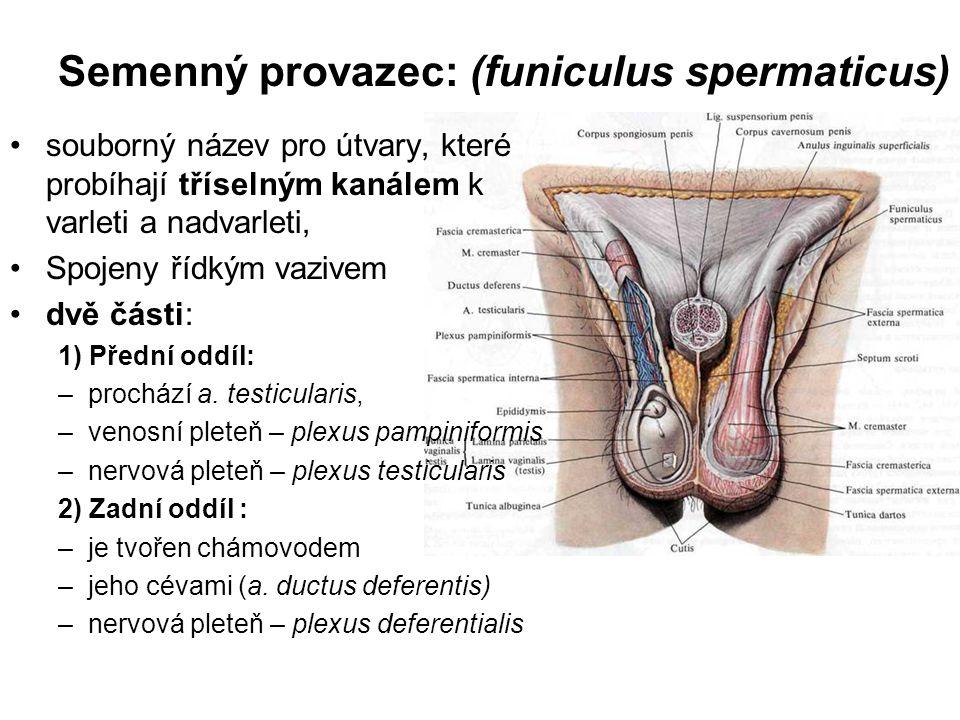 Semenný provazec: (funiculus spermaticus)