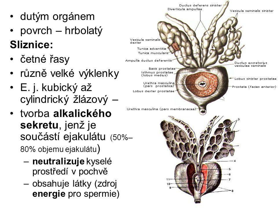 E. j. kubický až cylindrický žlázový –