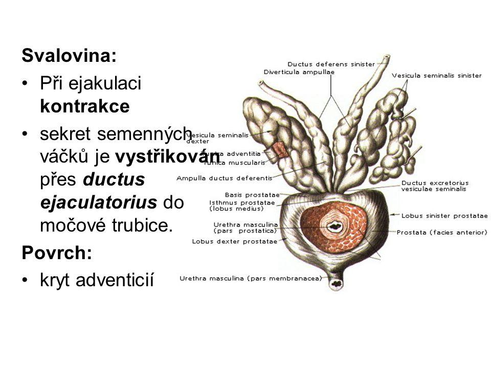 Svalovina: Při ejakulaci kontrakce. sekret semenných váčků je vystřikován přes ductus ejaculatorius do močové trubice.