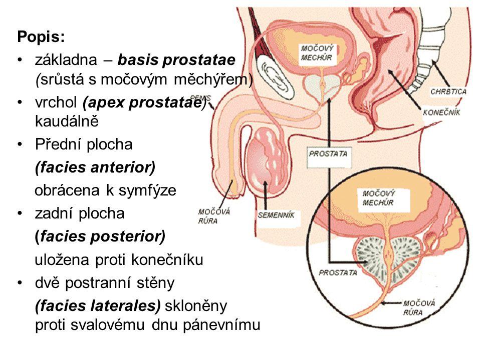 Popis: základna – basis prostatae (srůstá s močovým měchýřem) vrchol (apex prostatae) kaudálně. Přední plocha.