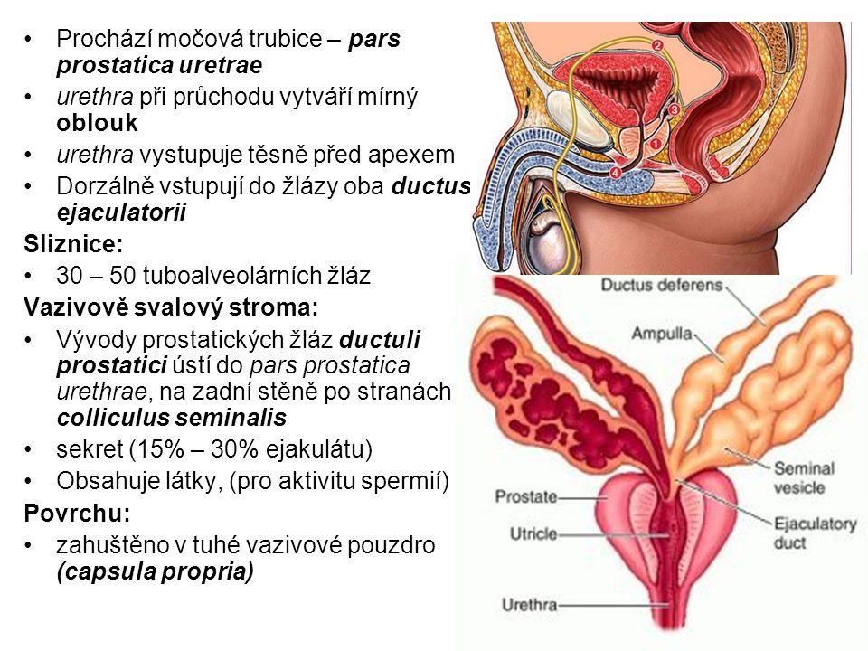 Prochází močová trubice – pars prostatica uretrae