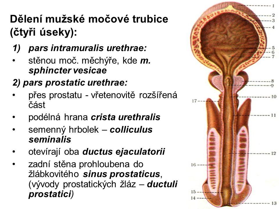 Dělení mužské močové trubice (čtyři úseky):