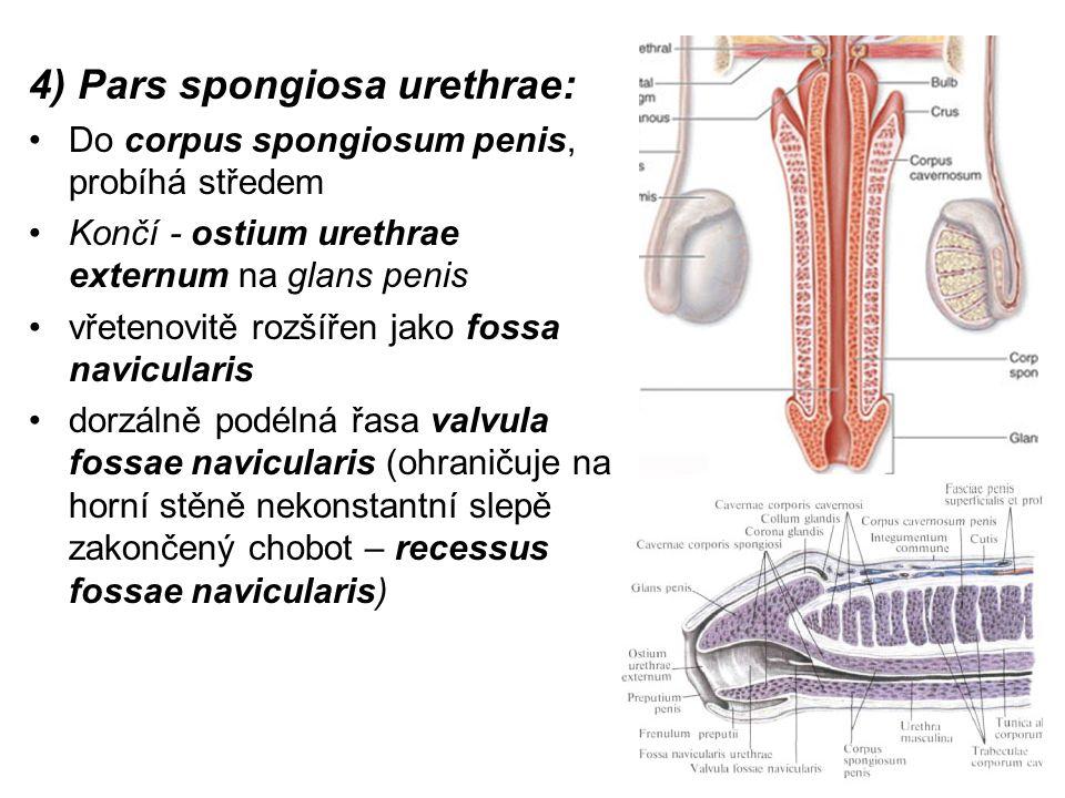 4) Pars spongiosa urethrae: