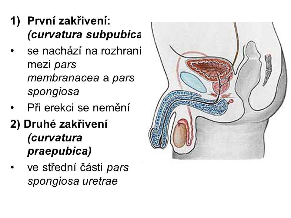 První zakřivení: (curvatura subpubica)