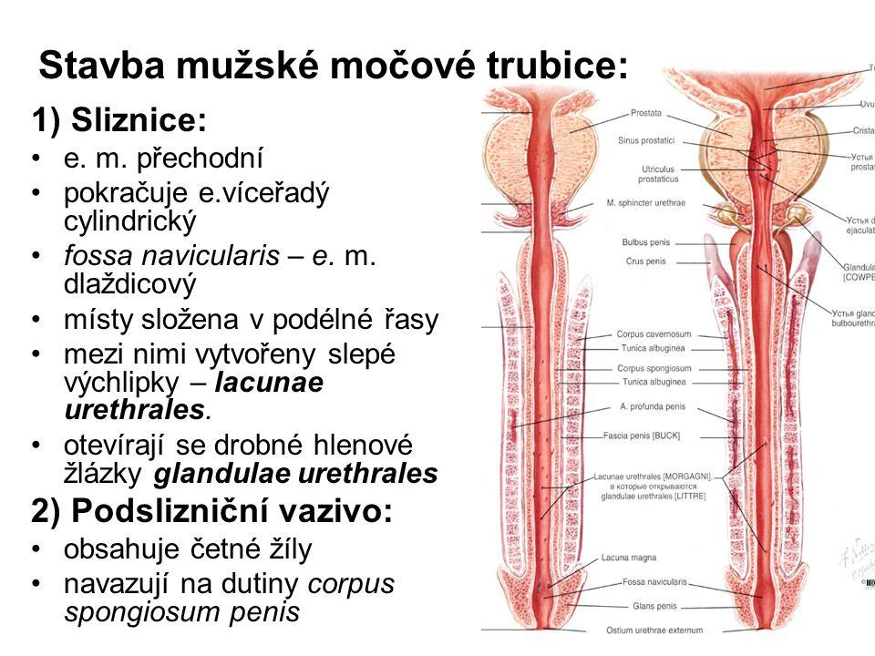 Stavba mužské močové trubice: