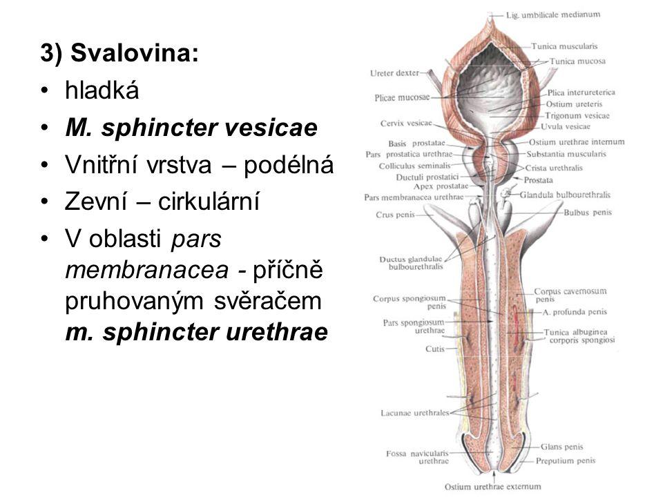 3) Svalovina: hladká. M. sphincter vesicae. Vnitřní vrstva – podélná. Zevní – cirkulární.