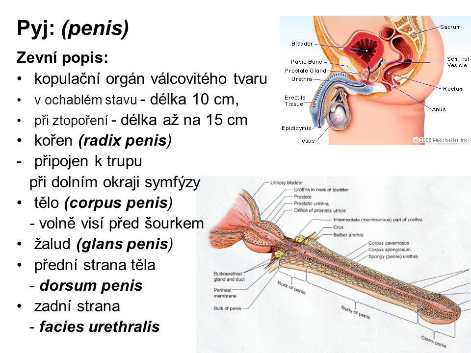 Pyj: (penis) Zevní popis: kopulační orgán válcovitého tvaru