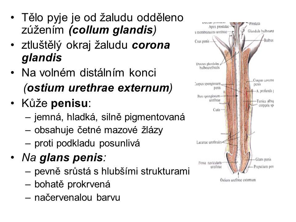 Tělo pyje je od žaludu odděleno zúžením (collum glandis)