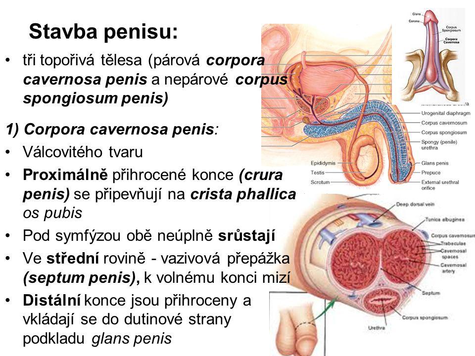 Stavba penisu: tři topořivá tělesa (párová corpora cavernosa penis a nepárové corpus spongiosum penis)