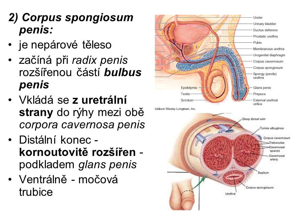2) Corpus spongiosum penis: