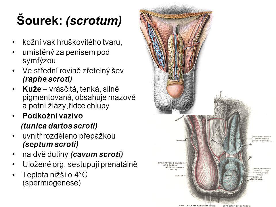 Šourek: (scrotum) kožní vak hruškovitého tvaru,