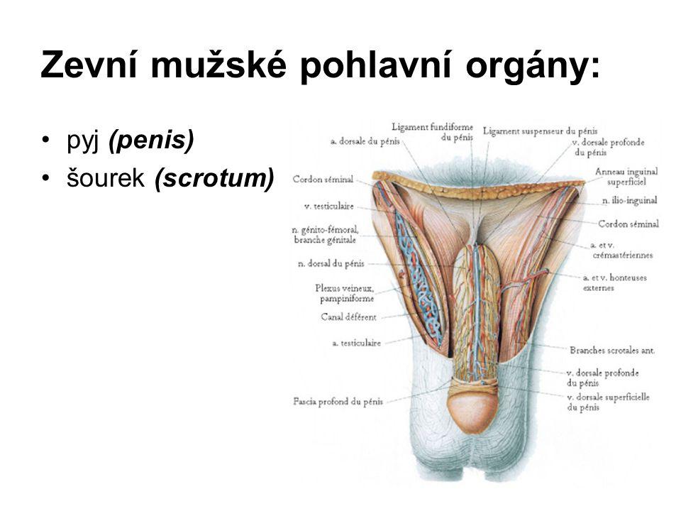 Zevní mužské pohlavní orgány: