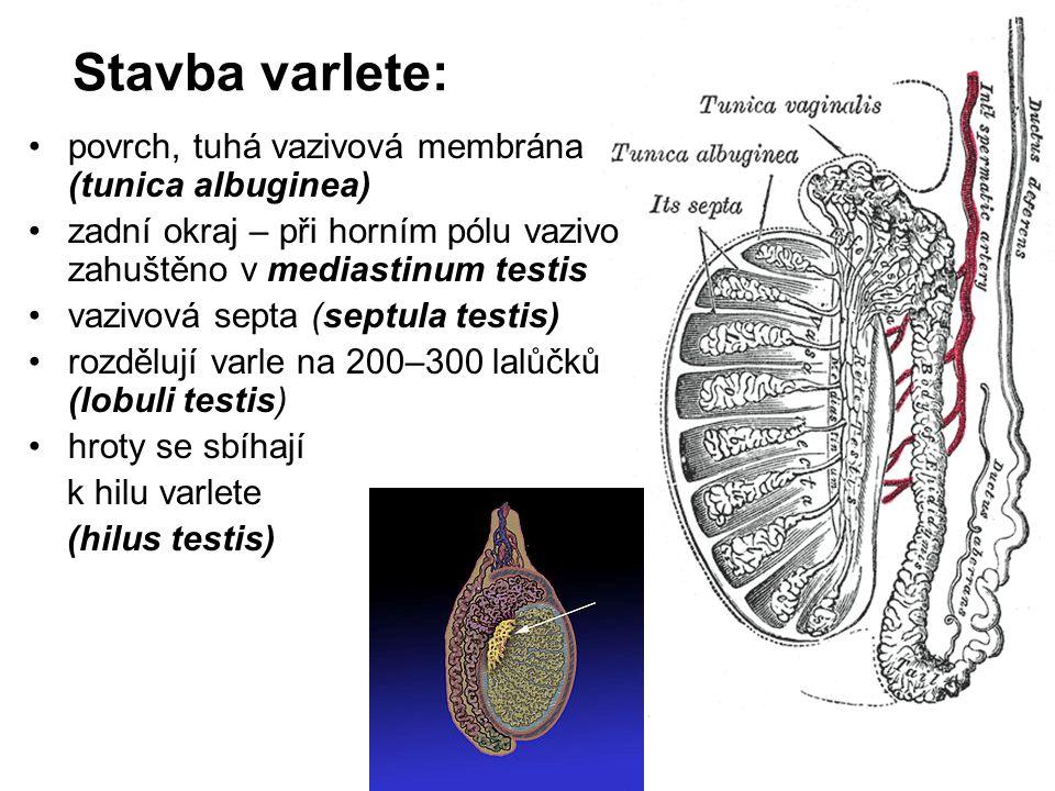 Stavba varlete: povrch, tuhá vazivová membrána (tunica albuginea)