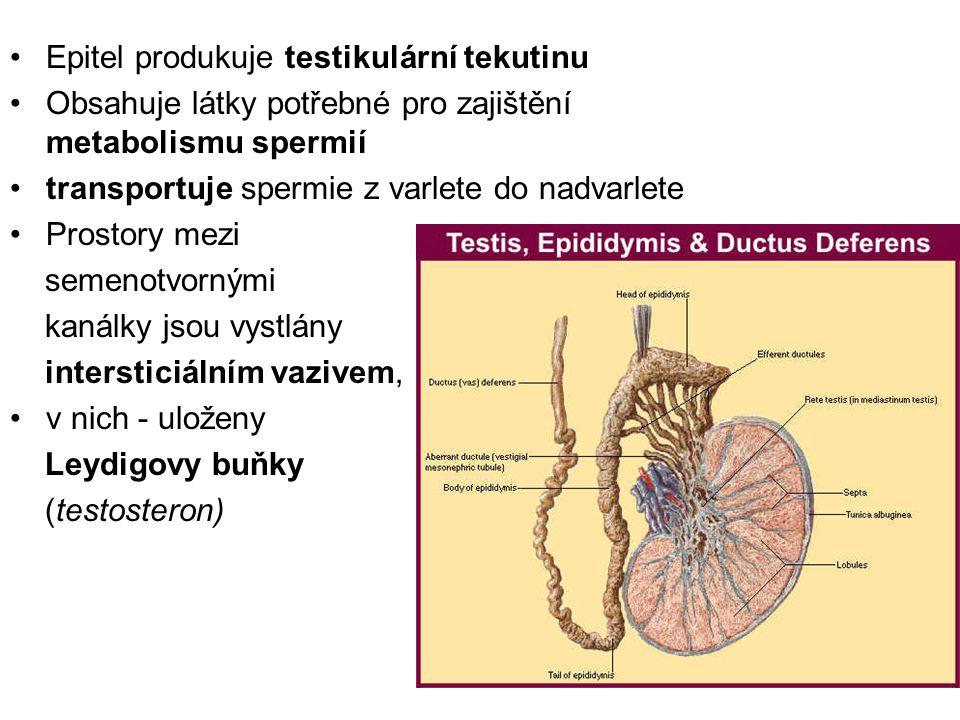 Epitel produkuje testikulární tekutinu