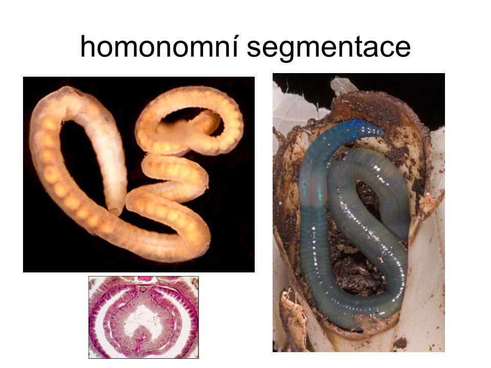 homonomní segmentace