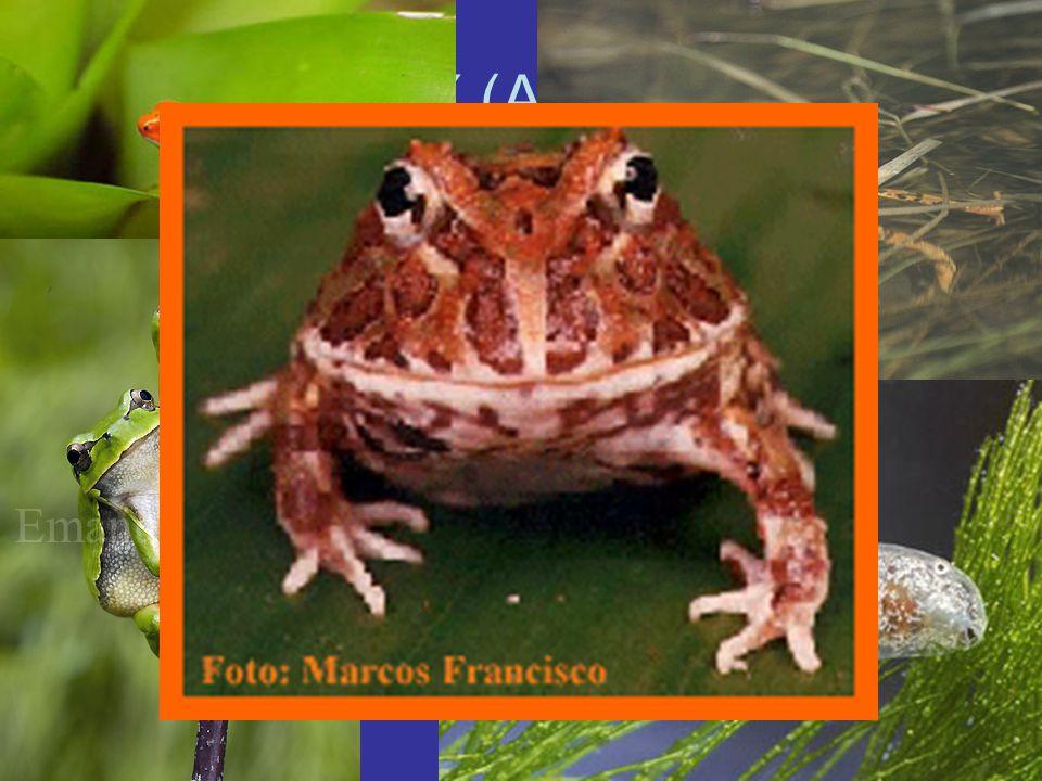 ŽÁBY (ANURA) Největší skupina obojživelníků (4100 druhů)