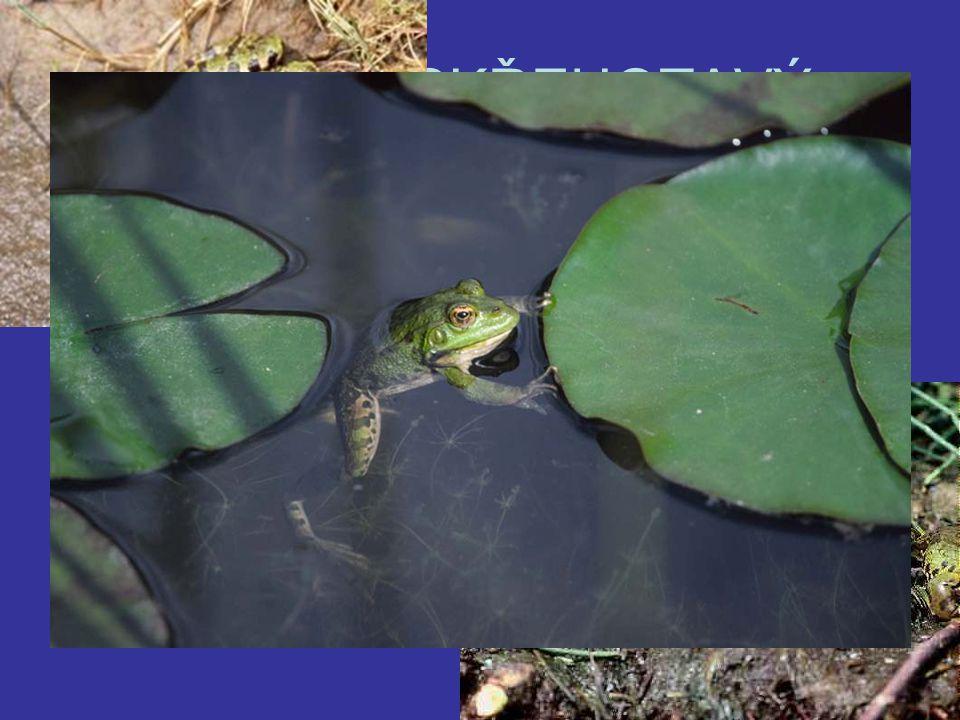 SKOKAN SKŘEHOTAVÝ Největší evropská žába