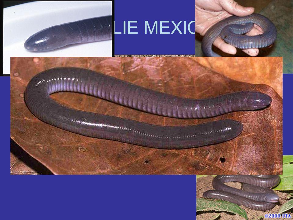 CECÍLIE MEXICKÁ Velká až 60cm Vydává tikavé zvuky Živorodá