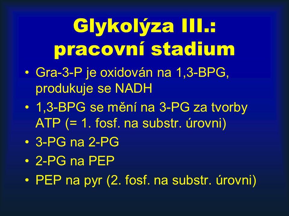 Glykolýza III.: pracovní stadium