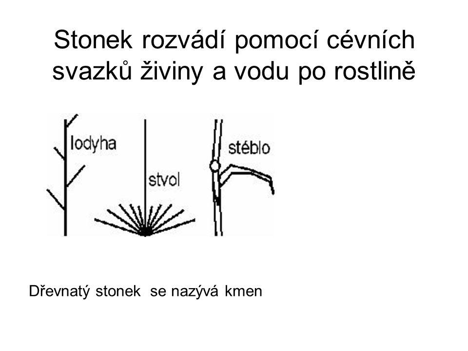 Stonek rozvádí pomocí cévních svazků živiny a vodu po rostlině