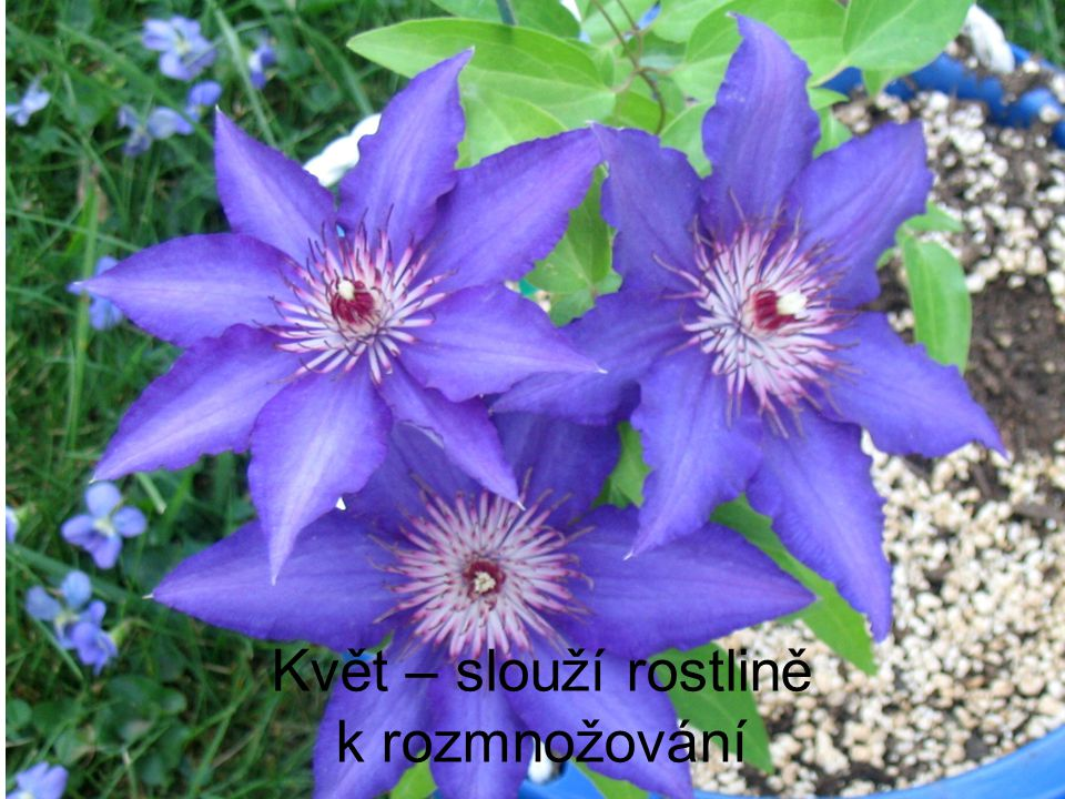 Květ – slouží rostlině k rozmnožování