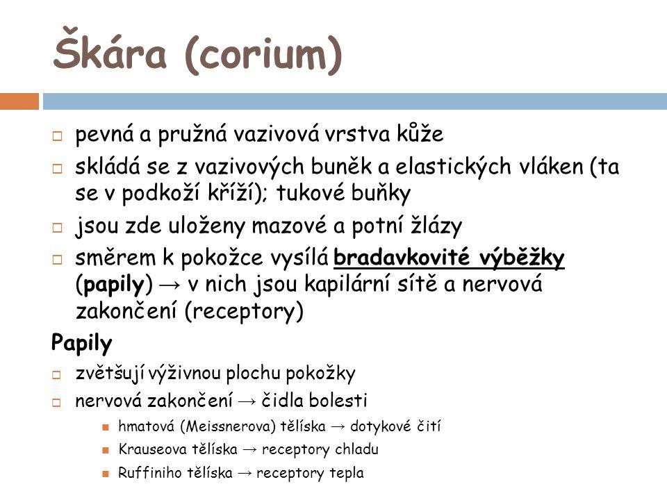 Škára (corium) pevná a pružná vazivová vrstva kůže
