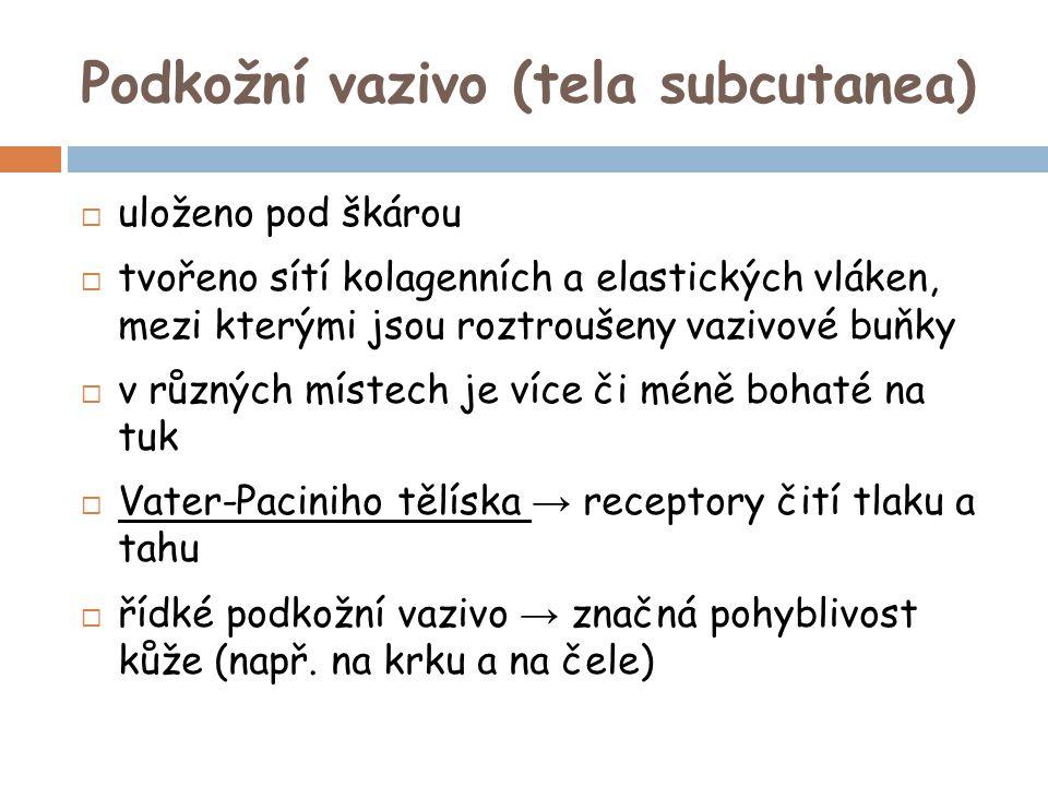 Podkožní vazivo (tela subcutanea)