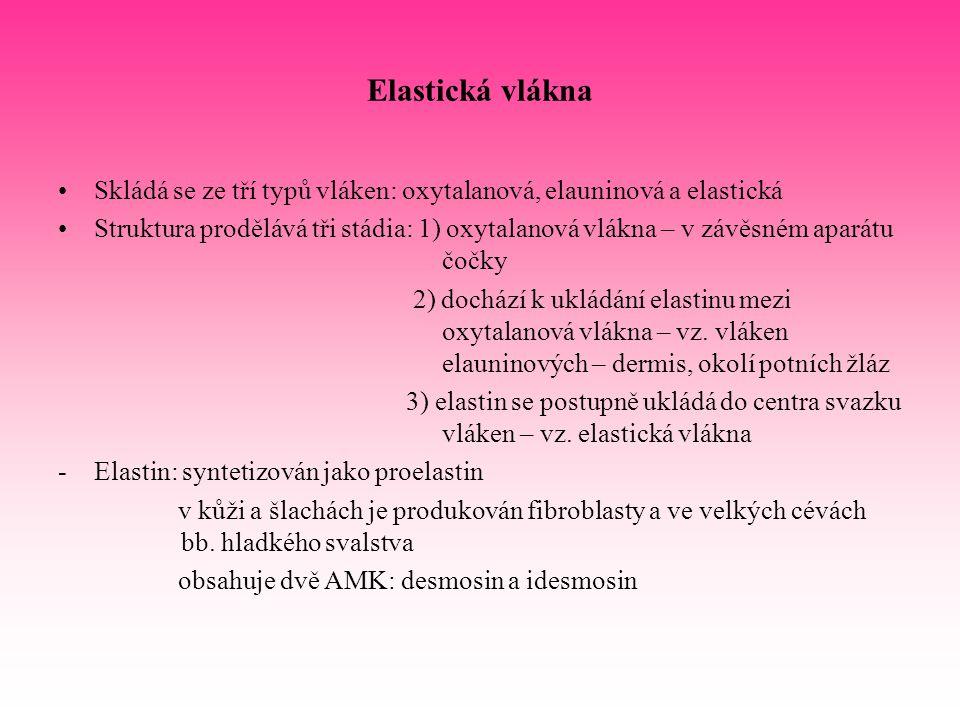 Elastická vlákna Skládá se ze tří typů vláken: oxytalanová, elauninová a elastická.