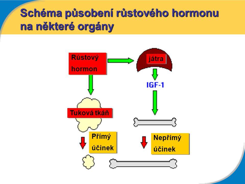 Schéma působení růstového hormonu na některé orgány