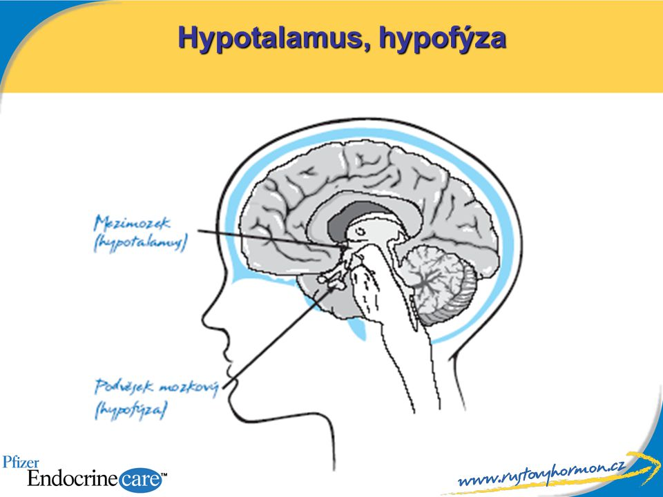 Hypotalamus, hypofýza