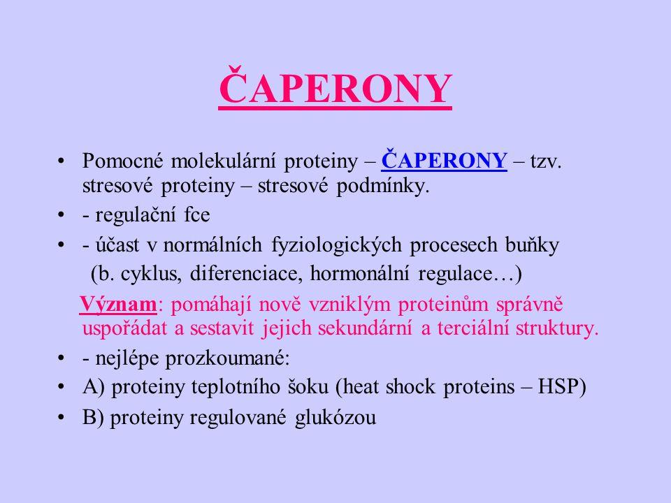 ČAPERONY Pomocné molekulární proteiny – ČAPERONY – tzv. stresové proteiny – stresové podmínky. - regulační fce.