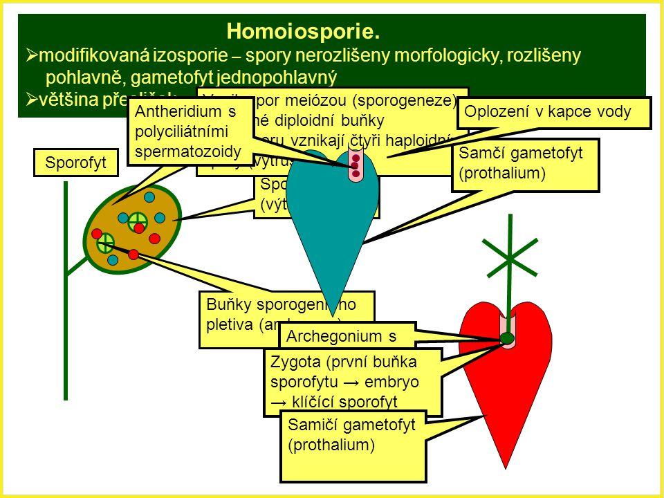 Homoiosporie. modifikovaná izosporie – spory nerozlišeny morfologicky, rozlišeny. pohlavně, gametofyt jednopohlavný.