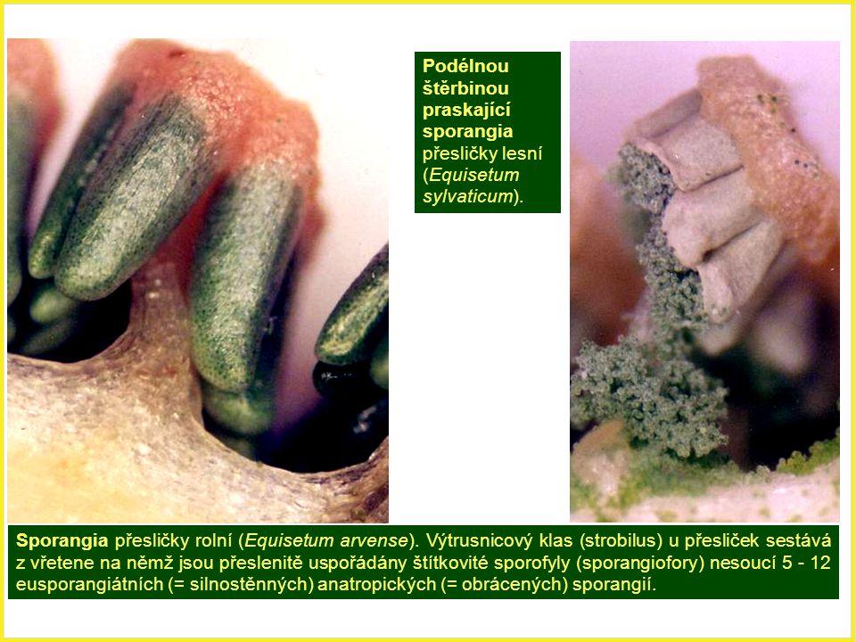 Podélnou štěrbinou praskající sporangia přesličky lesní (Equisetum sylvaticum).