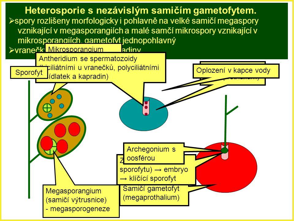 Heterosporie s nezávislým samičím gametofytem.