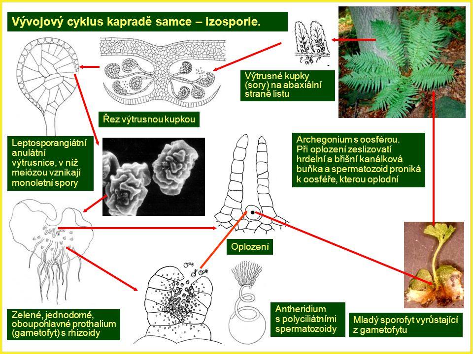 Vývojový cyklus kapradě samce – izosporie.