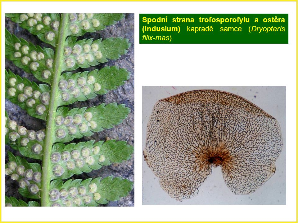 Spodní strana trofosporofylu a ostěra (indusium) kapradě samce (Dryopteris filix-mas).