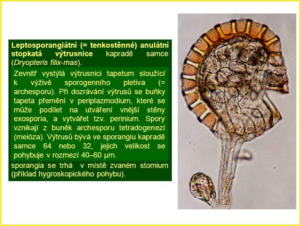 Leptosporangiátní (= tenkostěnné) anulátní stopkatá výtrusnice kapradě samce (Dryopteris filix-mas).