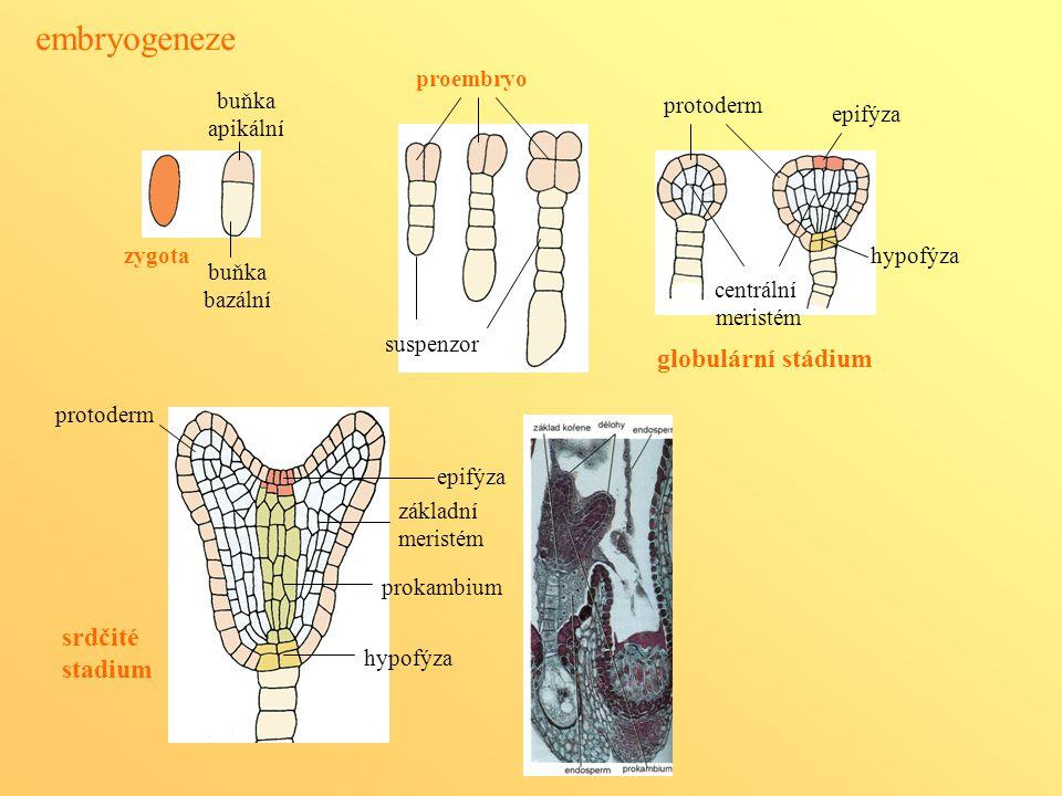 embryogeneze globulární stádium srdčité stadium proembryo buňka