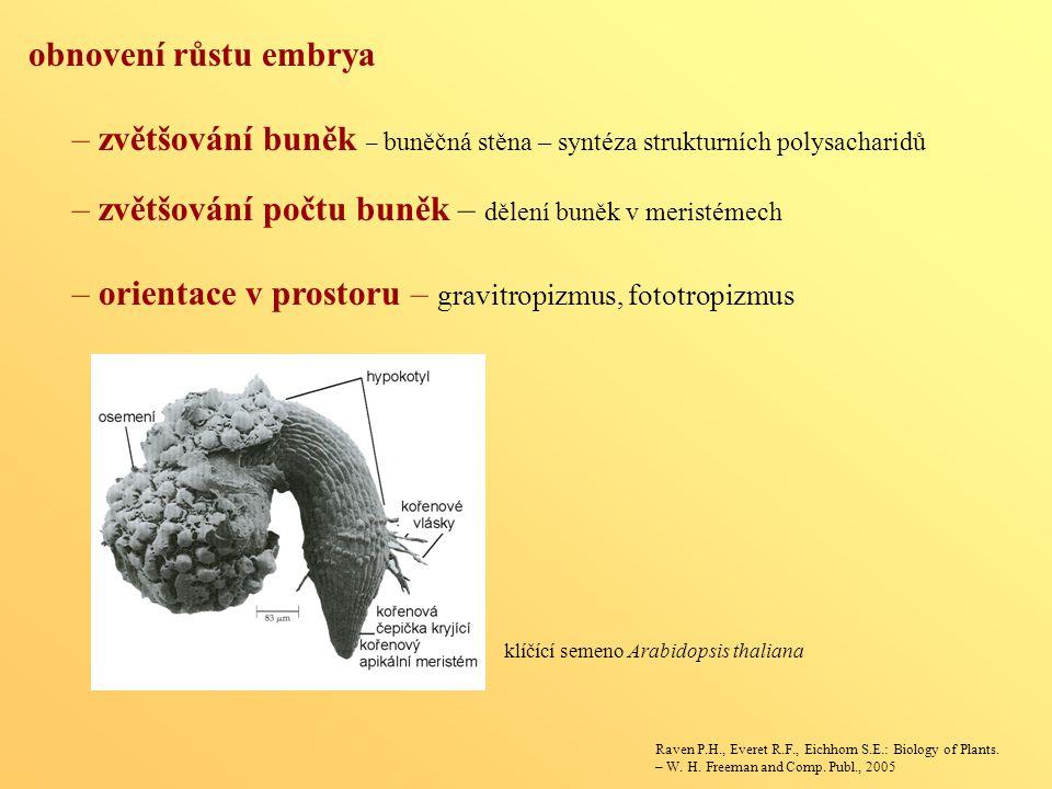 – zvětšování počtu buněk – dělení buněk v meristémech