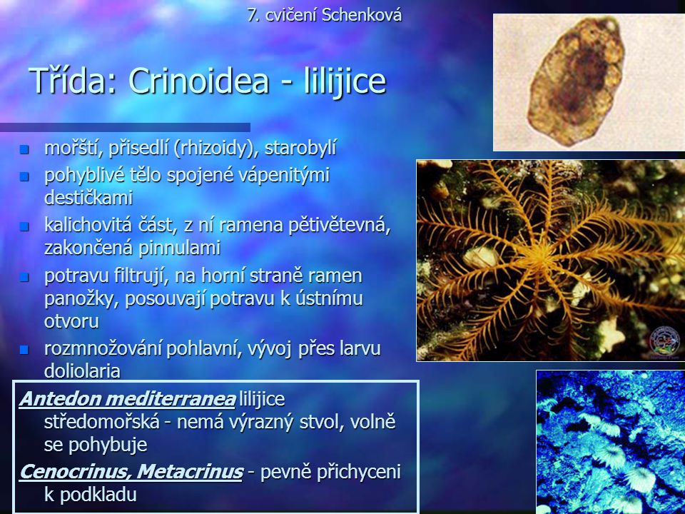 Třída: Crinoidea - lilijice