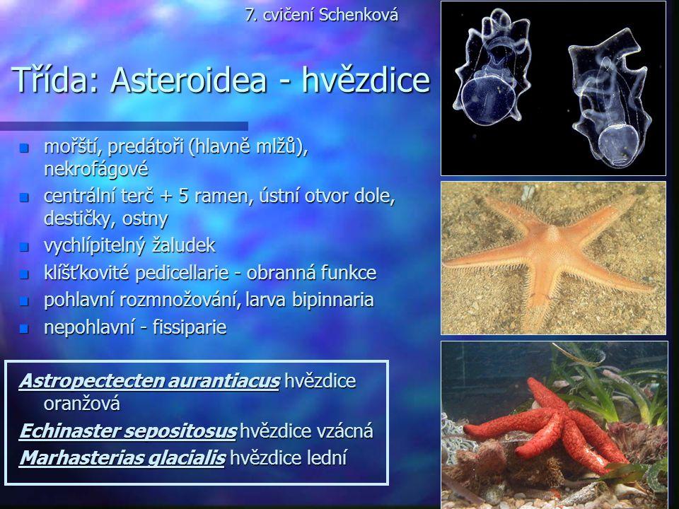 Třída: Asteroidea - hvězdice