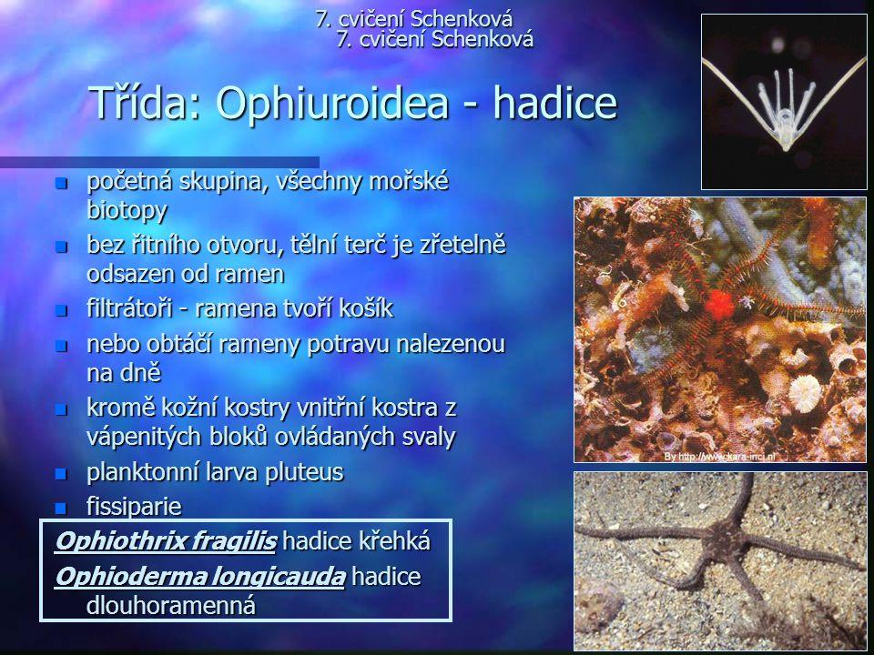 Třída: Ophiuroidea - hadice