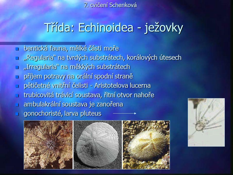Třída: Echinoidea - ježovky