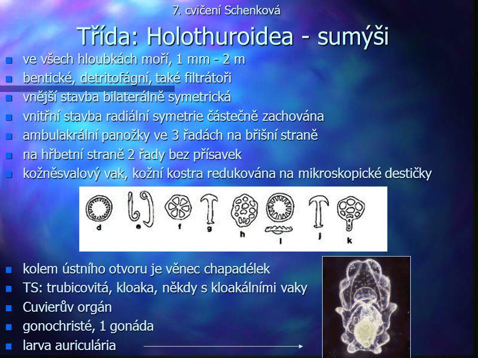 Třída: Holothuroidea - sumýši